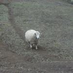 弘法山の羊