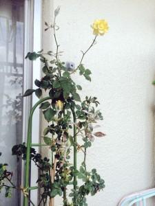 黄薔薇 サンハート