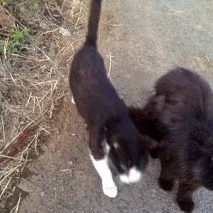 黒猫 白黒猫