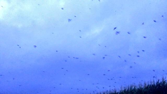 夕暮れの小鳥大群飛翔