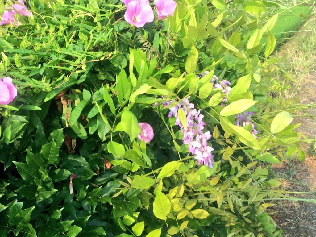 夏咲き藤の花