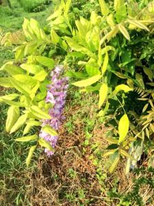 藤の花2015年8月