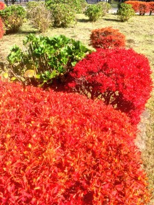 低木樹 紅葉