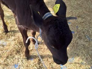 小田原農業まつり 子牛