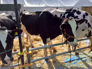 小田原農業まつり 乳牛展示