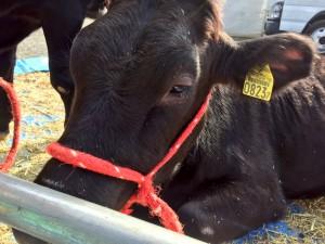 小田原農業まつり 足柄牛展示